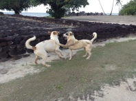 chiens du marae